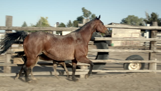 a slow motion shot of a  brown quarter horse colt and it's mother mare in a pen on a thoroughbred horse ranch in colorado - animal colour stock videos & royalty-free footage