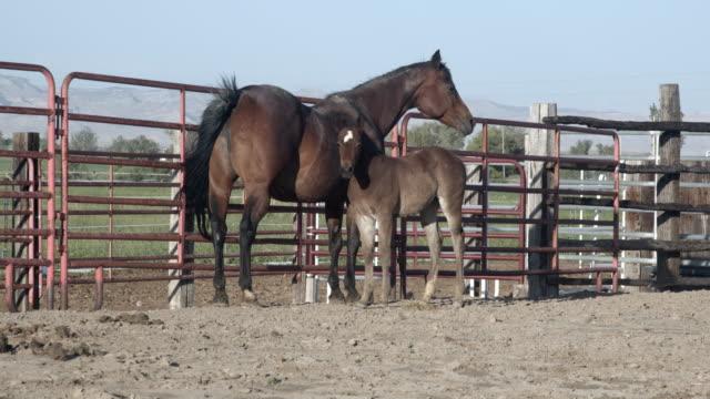 stockvideo's en b-roll-footage met een slow motion shot van een brown quarter horse colt en het is moeder mare in een pen op een volbloed horse ranch in colorado - vachtpatroon