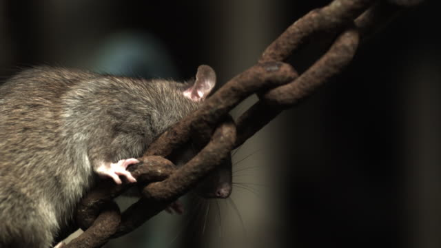 slow motion shot of a brown rat climbing up a rusty chain. - imperfection stock videos & royalty-free footage