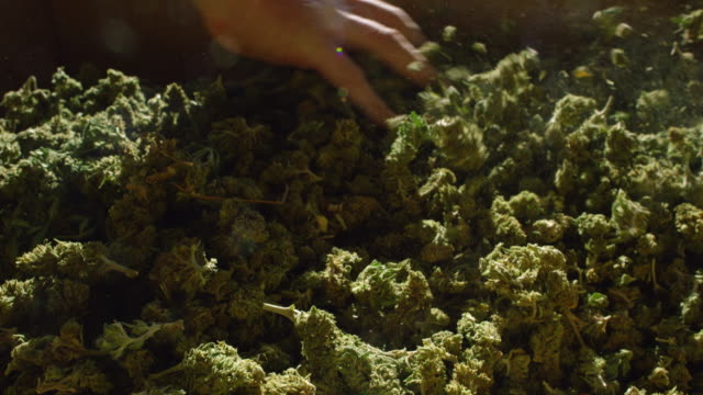 slow motion shot of a caucasian man raking his hands through a large pile of marijuana (cannabis) buds (hemp) - marijuana herbal cannabis stock videos & royalty-free footage