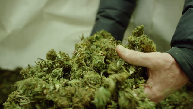 slow motion shot of a caucasian man's hands picking up and dropping a handful of dry, untrimmed marijuana (cannabis) buds in an indoor growing facility (hemp) - legalisation stock videos & royalty-free footage