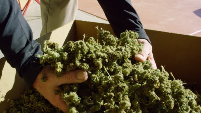 slow motion shot of a caucasian man's hands picking up and dropping a handful of dry, untrimmed marijuana (cannabis) buds into a cardboard box outdoors (hemp) - marijuana herbal cannabis stock videos & royalty-free footage