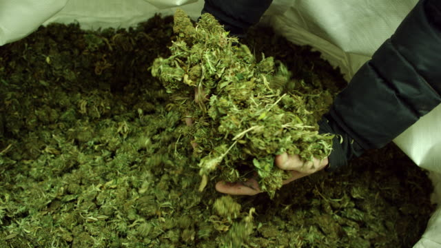 slow motion shot of a caucasian man's hands picking up and dropping an armful of dry, untrimmed marijuana (cannabis) buds in an indoor growing facility (hemp) - marijuana herbal cannabis stock videos & royalty-free footage