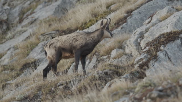 vídeos de stock e filmes b-roll de slow motion shot of a chamois grazing along a mountain - ficar de pé