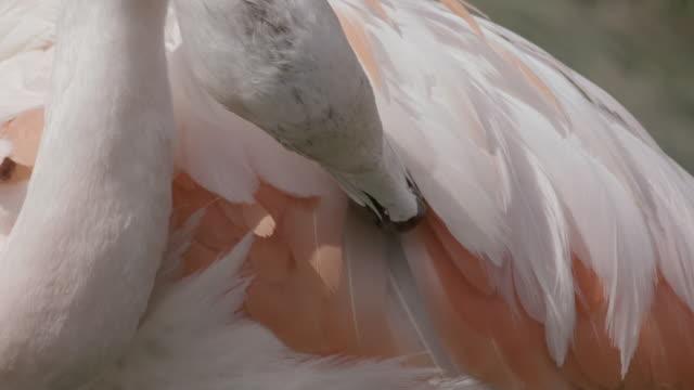 vidéos et rushes de slow motion shot of a flamingo preening its feathers. - plume