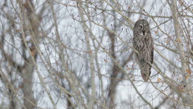 ms 4k slow motion shot of a great gray owl  (strix nebulosa) sitting/flying/hunting out of trees in the winter/snow - winter点の映像素材/bロール