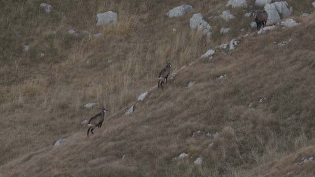 slow motion shot of a group of chamois running along the side of a hill - durmitor national park stock videos & royalty-free footage