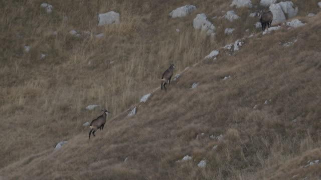vidéos et rushes de tir au ralenti d'un groupe de chamois courant le long du côté d'une colline - parc national