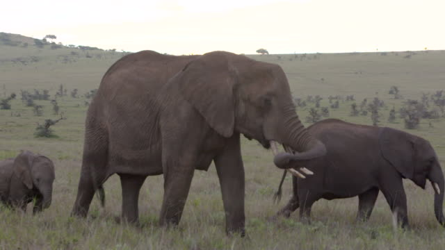 Slow motion shot of a herd of African elephants wandering across the Lewa Wildlife Conservancy, Kenya.