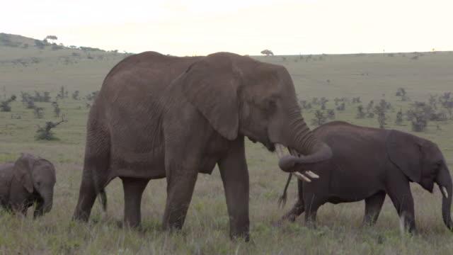 Slow motion shot of a herd of African elephants wandering across the Lewa Wildlife Conservancy, Kenya.