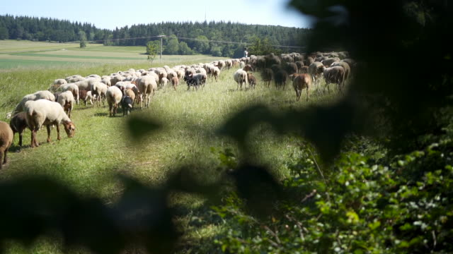 slow motion shot of a herd of sheep near albstadt, germany - herd stock videos & royalty-free footage