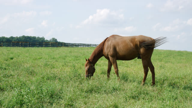 slow motion shot of a horse grazing in a green, fenced-in pasture on a farm on a sunny morning - pasture stock videos & royalty-free footage