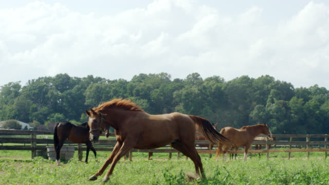 slow motion shot of a horse running and frolicking in a green, fenced-in pasture on a farm on a sunny morning - ranch video stock e b–roll