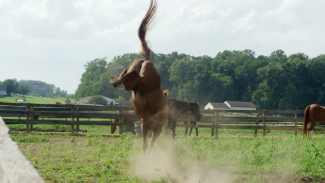 slow motion shot of a horse running, frolicking, and bucking in a green, fenced-in pasture on a farm on a sunny morning - kicking stock videos & royalty-free footage