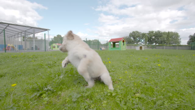 Slow motion shot of a Labrador puppies playing in the grounds of the National Guide Dog Centre for the Blind.