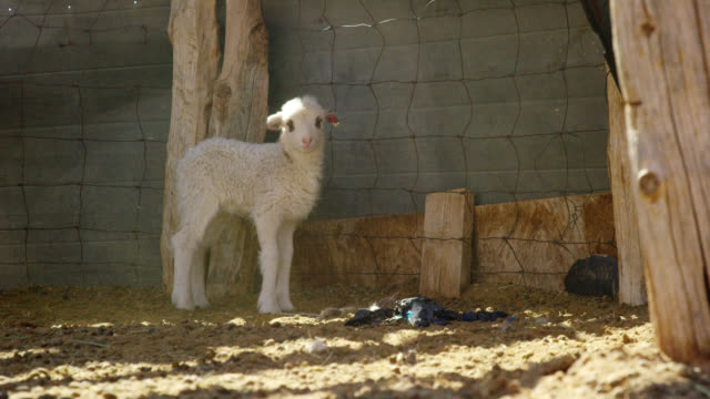 vídeos de stock e filmes b-roll de slow motion shot of a lamb standing and looking at the camera in a fenced in pasture on a sunny day - filhote de animal