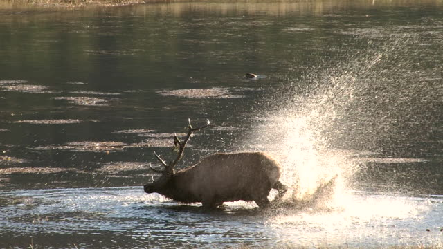 MS slow motion shot of a large bull elk (Cervus canadensis) thrashing and bugling in a pond at sunrise