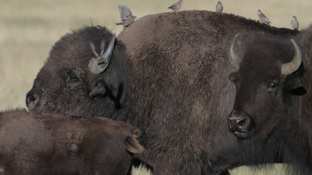 ms  4k  slow motion shot of a massive bull bison (bison bison) walking into the camera during the summer rut - herbivorous stock videos & royalty-free footage