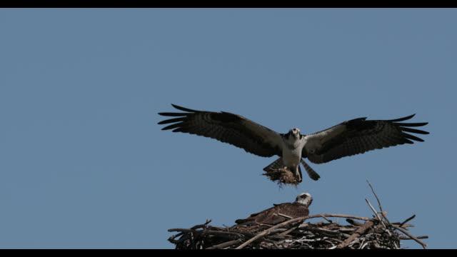 ms  4k  slow motion shot of a mating osprey pair (pandion haliaetus) as they prepare their nest - ミサゴ点の映像素材/bロール