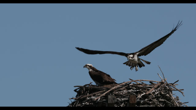 ms  4k  slow motion shot of a mating osprey pair (pandion haliaetus) as they prepare their nest - osprey stock videos & royalty-free footage