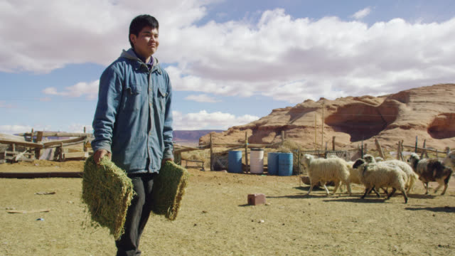 slow motion shot of a native american teenaged boy placing some hay into a metal hay feeder for his sheep in a fenced in pasture in monument valley, utah/arizona with a large rock formation in the background - arizona stock videos & royalty-free footage
