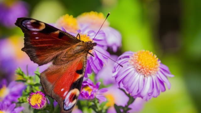 Slow Motion shot of a Peacock butterfly on a purple flower
