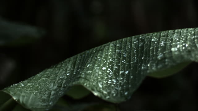 Slow motion shot of a person slapping raindrops off a large leaf.