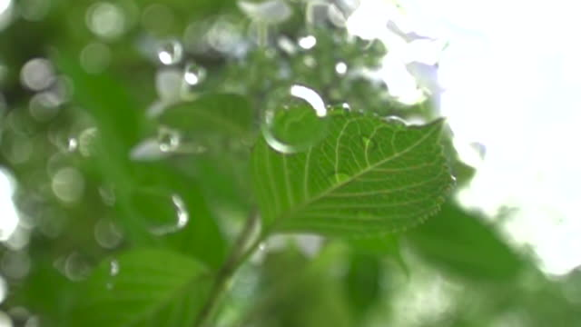 slow motion shot of a raindrop falling from a leaf, miyagi, japan. - raindrop stock videos & royalty-free footage