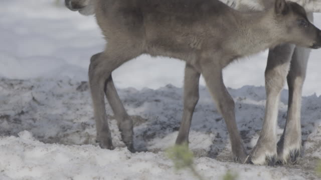 Slow motion shot of a reindeer calf and its mother.