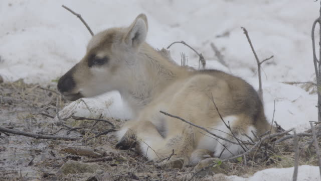 Slow motion shot of a reindeer calf lying on the ground.