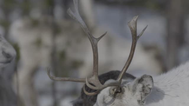 Slow motion shot of a reindeer.