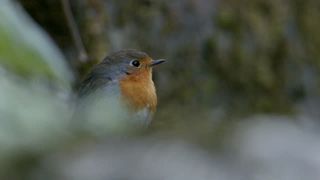 slow motion shot of a robin taking flight - 1 minute or greater stock videos & royalty-free footage