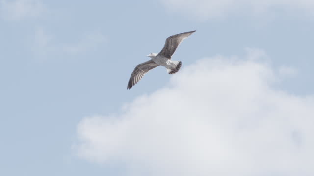 slow motion shot of a seagull flying - sea water bird stock videos & royalty-free footage
