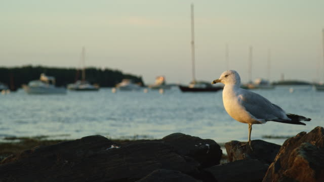 vidéos et rushes de slow motion shot of a seagull looking around the seashore near portland, maine with boats in the background at sunset (atlantic ocean) - bateau de pêche