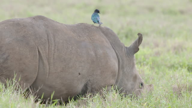 vídeos de stock, filmes e b-roll de slow motion shot of a small bird resting on the back of a black rhinoceros (diceros bicornis) as it travels across the grasslands of lewa downs, kenya. - dois animais