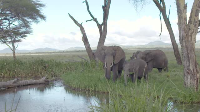 vidéos et rushes de slow motion shot of a small herd of elephants grazing next to a water hole. - éléphanteau
