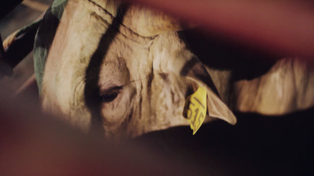 slow motion shot of a tagged bull's face between the bars of its pen at a bull riding competition - bucking bronco stock videos & royalty-free footage