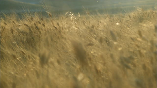 Slow motion shot of a wheat field gently swaying in a breeze.