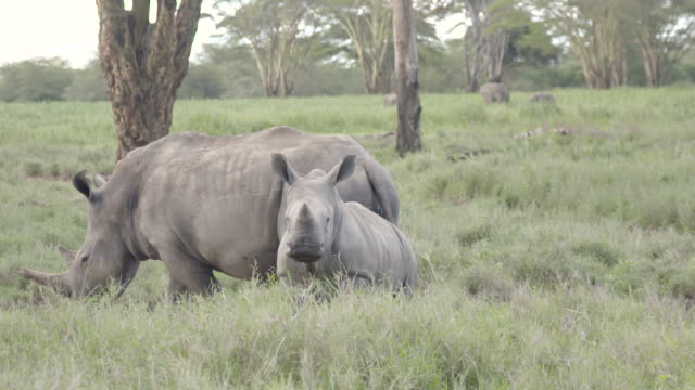 stockvideo's en b-roll-footage met slow motion shot of a white rhinoceros (ceratotherium simum) and her calf wandering across the grasslands of the lewa wildlife conservancy, kenya. - gehoornd