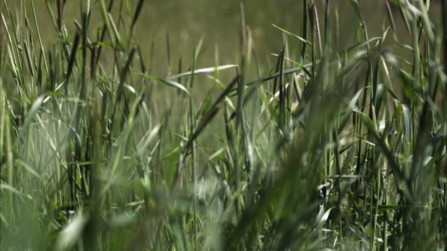 slow motion shot of a woman's hand touching tall grass. - オレム点の映像素材/bロール