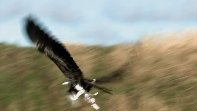 Slow motion shot of an eagle being trained by Dutch police to capture illegally flown drones
