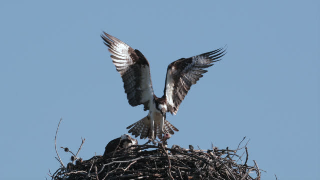 ts  4k  slow motion shot of an osprey feeding 3 tiny chicks in the nest - osprey stock videos & royalty-free footage