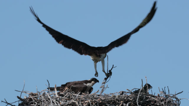 ts  4k  slow motion shot of an osprey with 2 tiny chicks in the nest - bird's nest stock videos and b-roll footage