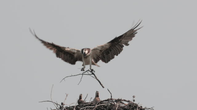 ts  4k  slow motion shot of an osprey (pandion haliaetus) with 3 tiny chicks - animal nest stock videos & royalty-free footage