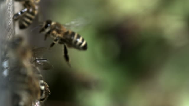 Slow motion shot of bees flying to and from a beehive.