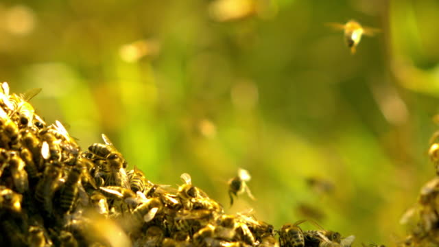 Slow motion shot of bees swarming on a tree branch.