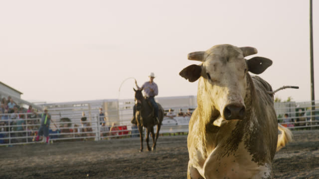 slow motion shot of cowboys with lassos riding horses corralling a bull at a bull riding event before being thrown from the bull's back in a stadium full of people at sunset - bull animal stock videos & royalty-free footage