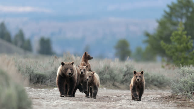 ms  4k  slow motion shot of famous grizzly bear #399 and her 4 coy/cubs (ursus arctos) as they walk along a jeep trail in the sage meadows - グランドティトン国立公園点の映像素材/bロール
