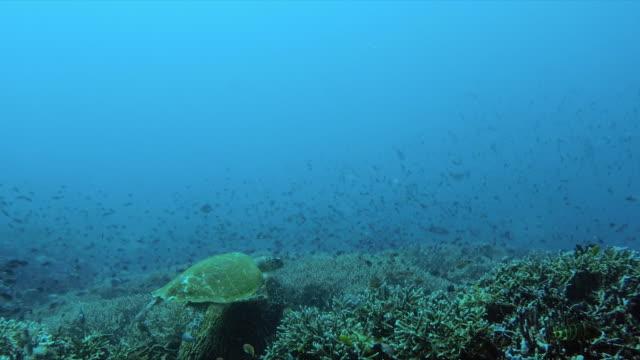 slow motion shot of fish and sea turtle swimming in ocean, marine life over corals - nusa penida, bali - undervattensdykning bildbanksvideor och videomaterial från bakom kulisserna