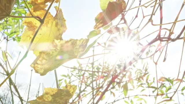 slow motion cu shot of grape leaves in autumn - grape leaf stock videos & royalty-free footage